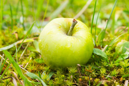 Wet yellow apple with drops of water lying in green grass Stock Photo