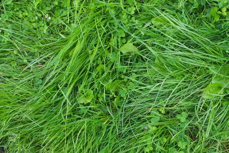 bright green grass textured  background