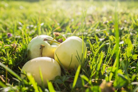 3 yellow - green apples on grass in garden in sunlight
