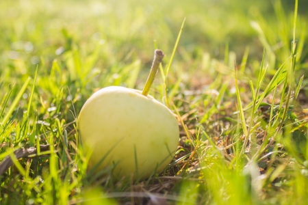 One yellow apple lying in sunlight on green grass in garden photo