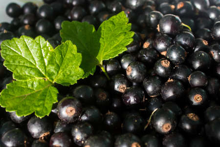 Black currants green leaves background  food health Stock Photo