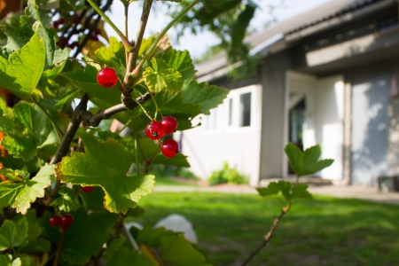 Red currants near house