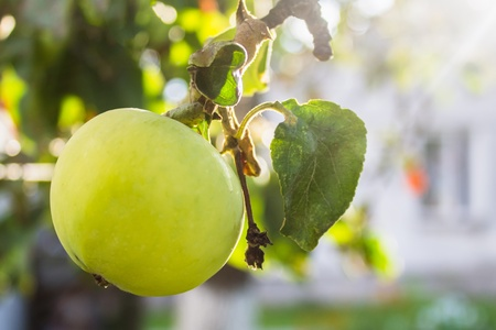 Green Apple on branch of tree in village garden with house in sunlight behind