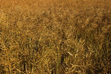 golden - yellow wheat texture or background picture photo