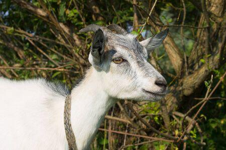 nanny goat: White small nanny goat smiling, branches of bush on background
