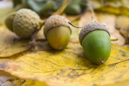 Three acorns on yellow leaf background photo