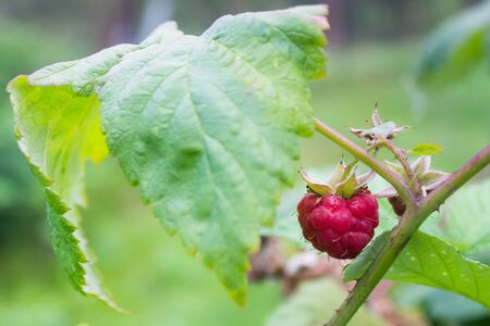 Pink raspberry with green leaf and thorns  in garden photo