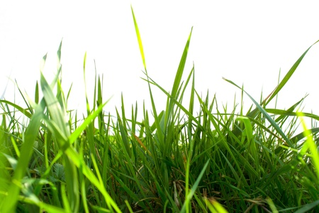 High green grass on white background Stock Photo