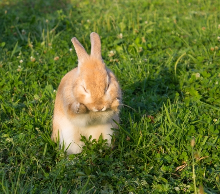 brown bunny washing its face on green grass background photo
