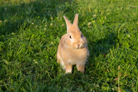 brown bunny sitting on green grass