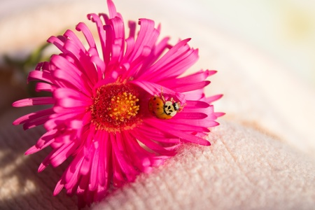 small red ladybird on pink flower