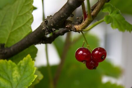 red currants on branch with green leaf Stock Photo