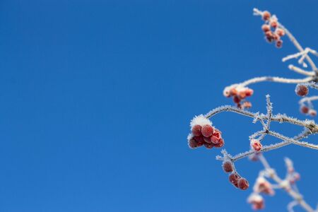 frozen viburnum winter snowy background photo