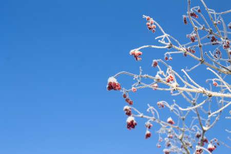 bunchy: viburnum tree on bright blue sky background