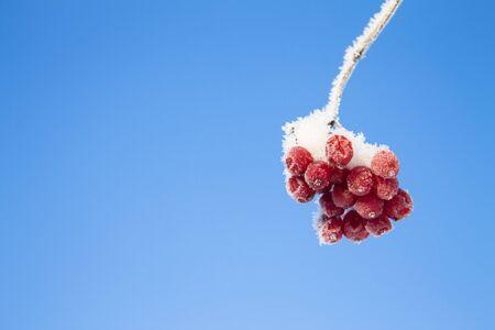 bunchy: frozen red viburnum on blue sky bckground Stock Photo