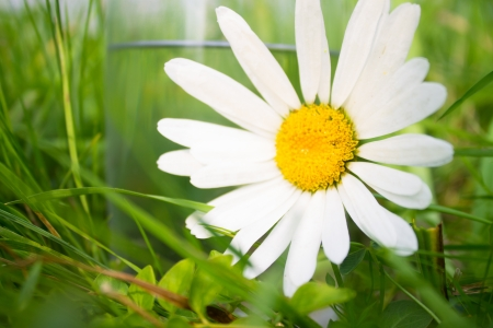 white daisy near glass of water in green grass photo