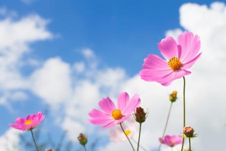 pink flowers on blue sky backgroud