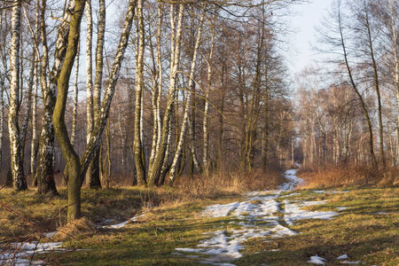 birch forest with melting snow in spring background