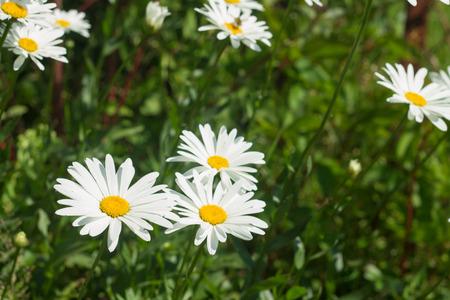 bright white daisies in garden photo