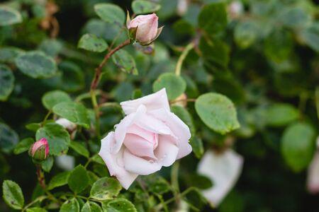 pink rose in green summer garden
