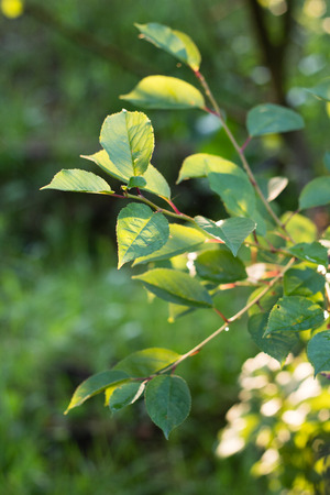 green leaves in green summer garden