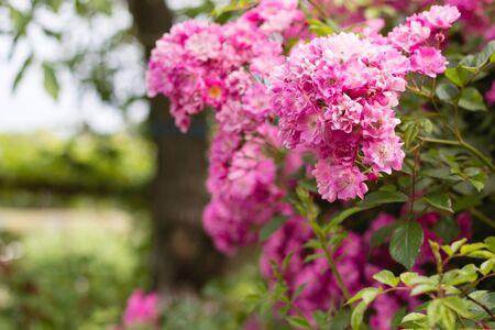 pink flowers bush in garden Stock Photo