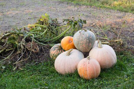 group of orange pumpkins in autumn garden Stock Photo