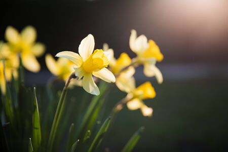 Beautiful yellow narcissus flower with fresh green leaves in bright loght with dark background copy space