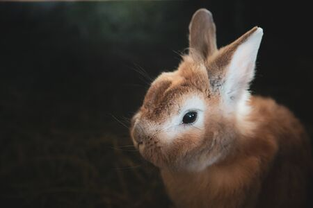small brown bunny, home rabbit pet closup on dark background with copy space