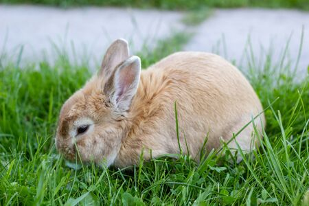 small brown bunny, home rabbit pet closup on green grass summer background