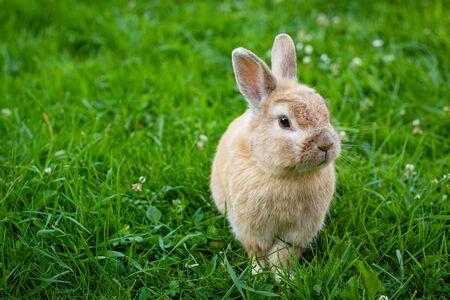 petit lapin brun sur fond d'herbe verte dans le jardin d'été, animal domestique