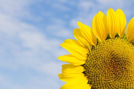 Bright yellow sunflower on blue sky background, summer nature flower with copy space