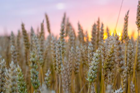 Bright golden wheat field background, growing plants bread ladscape