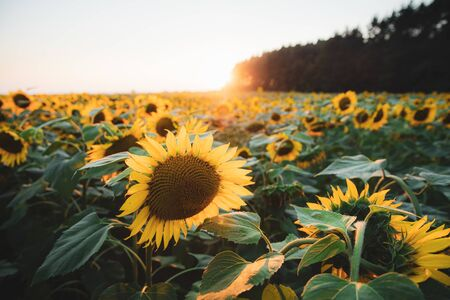 Bright yellow sunflower on big agricultural field with sunset light background, summer nature flower 免版税图像