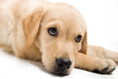 Portrait of a Golden Retriever puppy lying on the floor with white background photo
