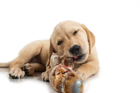 Labrador puppy chewing a large bone,  BARF, Bones And Raw Food Stockfoto