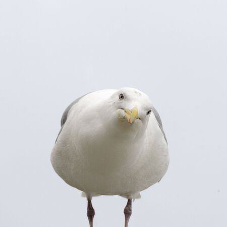 Herring Gull Looking at You