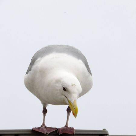 Herring Gull Inspection