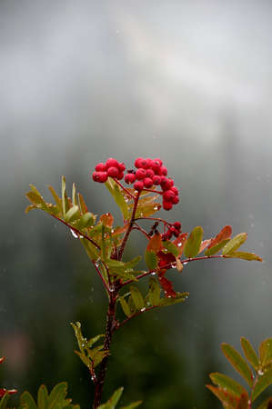 mountain ash: Mountain Ash berries against foggy background.