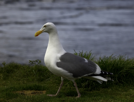 Western gull on Apr 20, 2013 at Oregon coast, Seaside, Oregon, USA  photo
