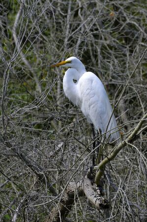 long legged: Great Egret perched in tree on Assateague Island, Virginia
