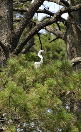 long legged: Great Egret perched in a pine tree on Assateague Island, Virginia