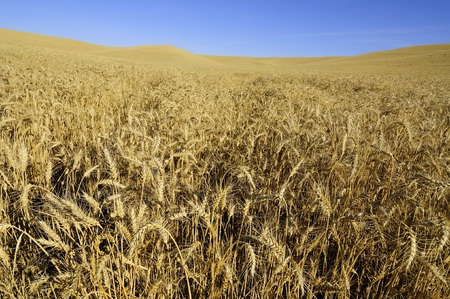 Ripe wheat ready to harvest in the Palouse of Washington State. Banco de Imagens