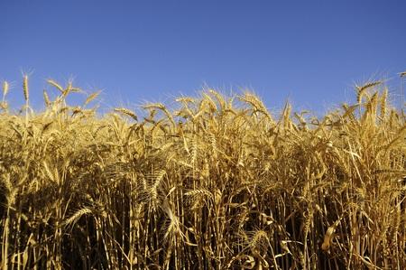 palouse: Ripe wheat ready to harvest in the Palouse of Washington State. Stock Photo