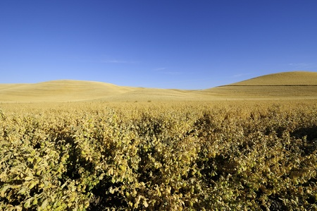bounty: Ripe chickpeas ready to harvest in the Palouse of Washington State.