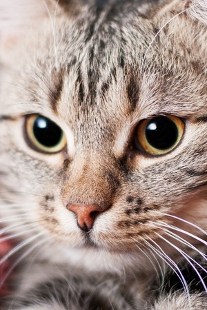 whiskar: close-up beautiful cat portrait