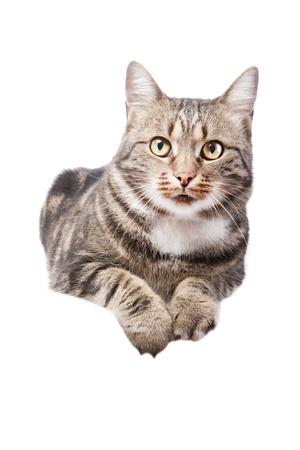 mooie Europese kat liggend op een witte achtergrond