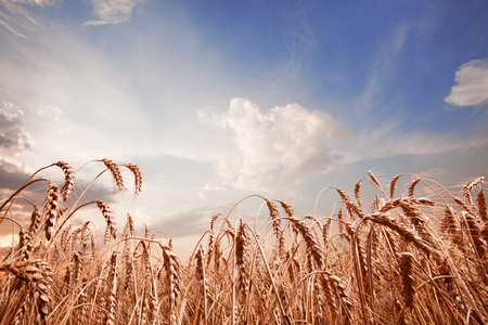 Spikes of the wheat and blue sky with clouds photo