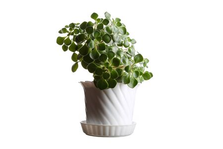 Money tree in flowerpot isolated on white background photo