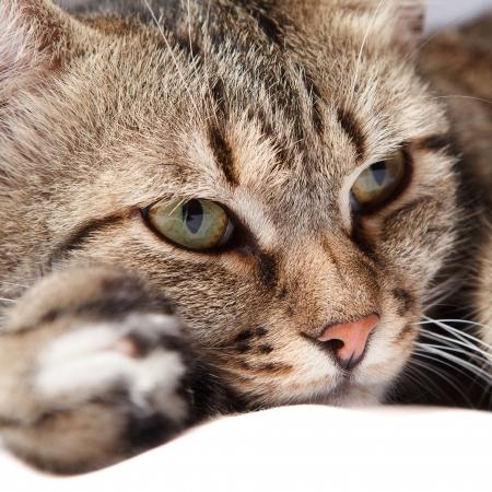 close-up europese kat vooraan op een grijze achtergrond